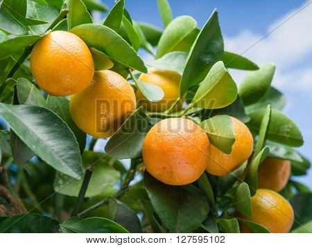 Ripe tangerine fruits on the tree. Blue sky background.