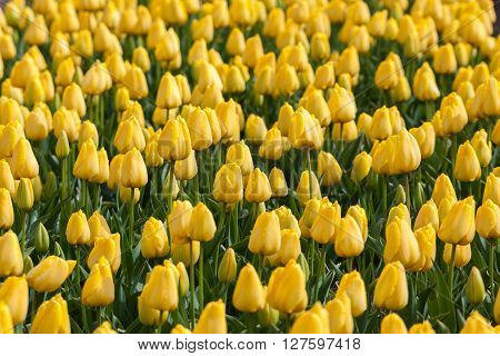 Tulip. Beautiful Tulips Flowers In Spring Garden, Vibrant Floral Background