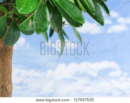 Wet lemon tree leaves on the blue sky background.