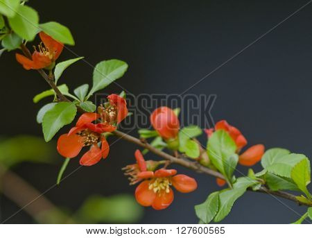 Japanese quince in bloom background. Red flower blossom in the park at spring.