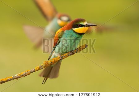 Bee-eater perched on a branch and the partner comes flying