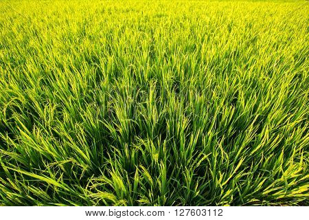Light green rice field on a bright sunny day.