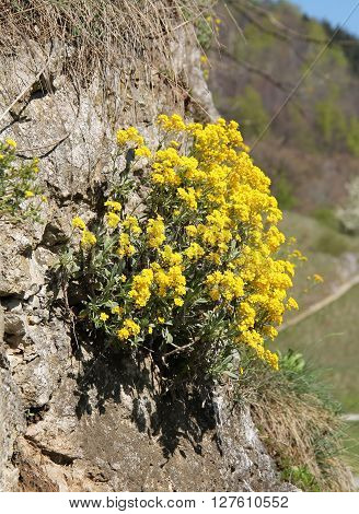 bunch od bright yellow blooming goldentuft alyssum on the rock