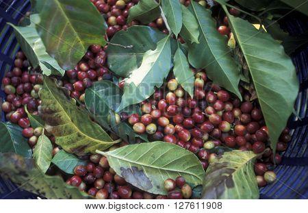 a coffee Plantation of finca near the city of Antigua in Guatemala in central America.