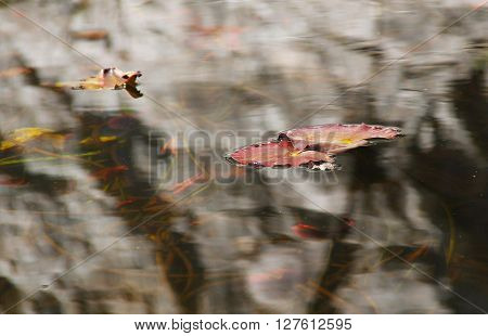 red leaves of water lilly on the clean water surface