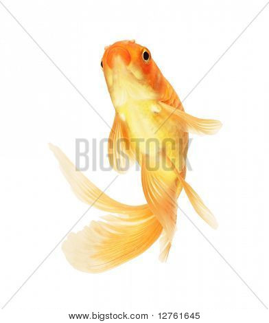 Goldfisch, isolated on white