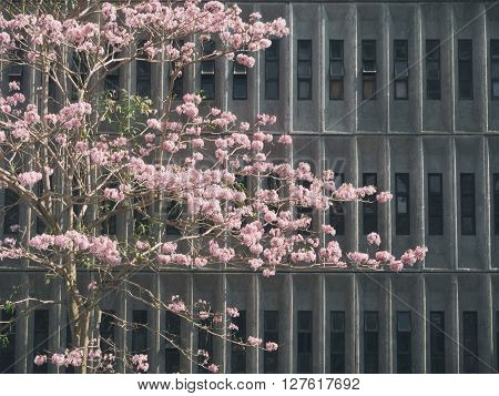 Tabebuia rosea with a  gray building in the background.