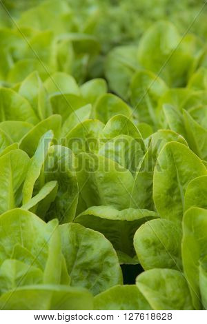lettuce spinach