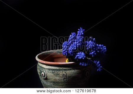 Blue Grape Hyacinth, Muscari Armeniacum Flowers In A Green Clay Vase On Black Background. Selective