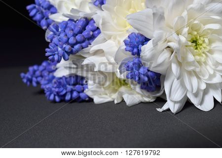 Close Up Of White Chrysanthemum And Blue Grape Hyacinth With Dramatic Lighting On Black Background.