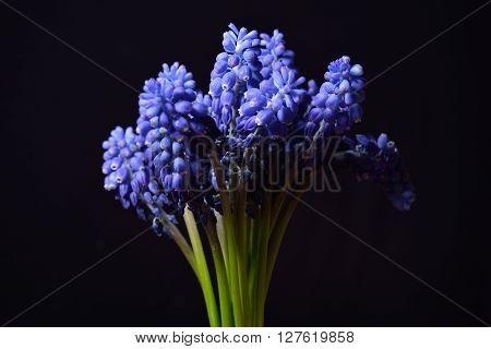 Blue Grape Hyacinth, Muscari Armeniacum Flowers With Strong Contrast On Black Background. Studio Lig