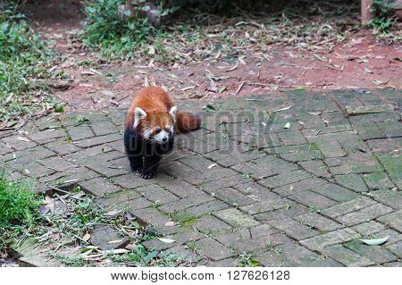 Closw view of red Red Panda (Ailurus fulgens) also called lesser panda.