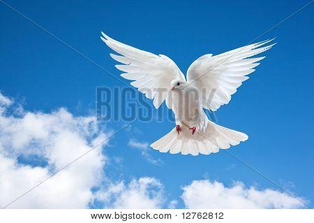 Taube in der Luft mit Flügeln weit offen an der Sonne