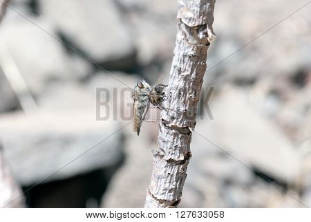 Killer Fly (robber Fly)