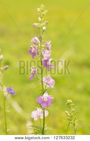 Beautiful light purple Larkspur blooming in green summer garden