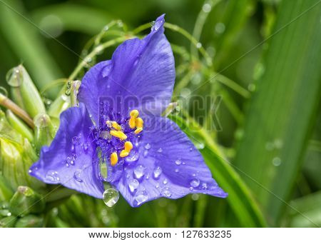 Dew drops on a beautiful blue Spiderwort flower