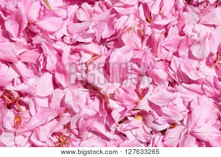 Sakura petal background, bright sunlight, macro photo