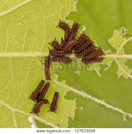 Group of young, small caterpillars of Pipevine Swallowtail butterfly feeding on a Pipevine leaf