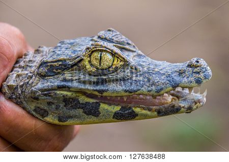 A close-up of a baby crocodile with sharp teeth and a shiny eye - Rainforest, BOLIVIA in September 2015