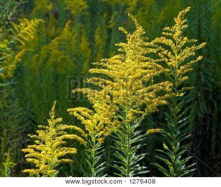 Flores de vara de oro