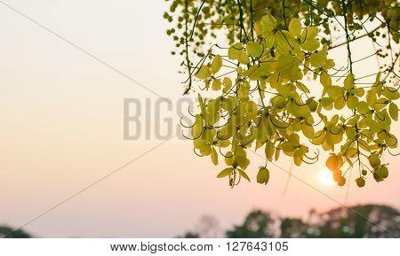 Yellow flower of Cassia fistula or golden shower tree