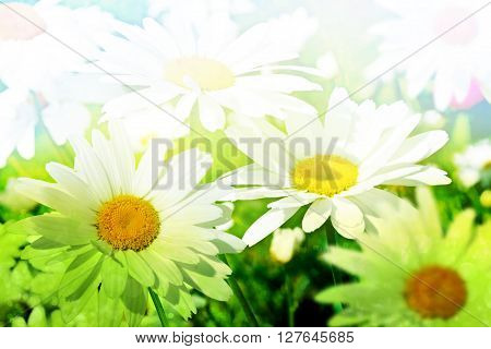 Wildflowers daisies. Abstract background of white flowers daisies
