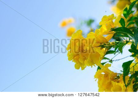 Tecoma stans or Yellow Trumpet bush flower on tree
