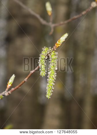 Aspen catkins on branch with bokeh background macro selective focus shallow DOF