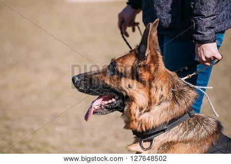 Brown German Shepherd Dog Near Woman. Alsatian Wolf Dog. Outdoor