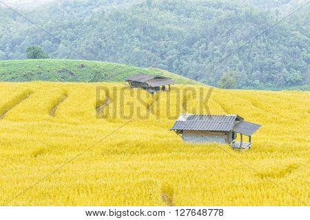 the golden rice terrace with the hut in Thailand