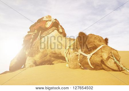 Johnnie the cutest camel. Dromedary camel in the Thar Desert, Rajasthan, India.