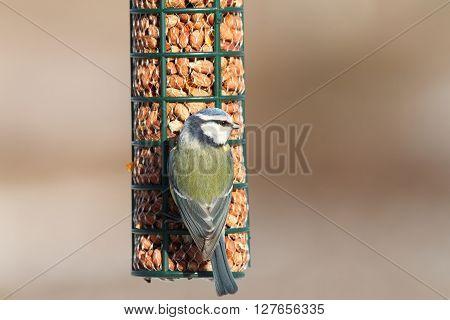 hungry blue tit on bird feeder foraging for peanuts ( Cyanistes caeruleus )