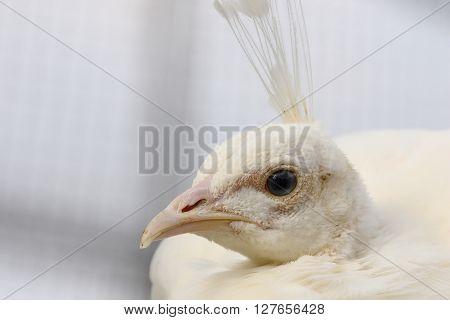 female white peafowl portrait ( Pavo cristatus peahen )
