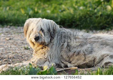 fluffy romanian shepherd dog resting on the ground near the farm