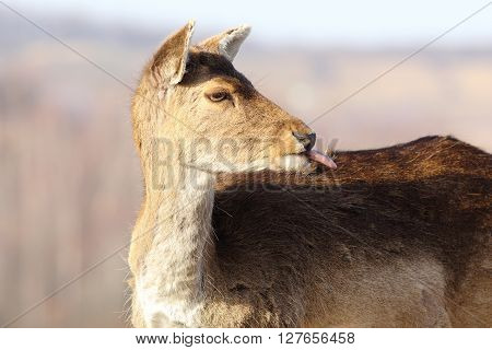 funny fallow deer hind ( Dama dama ) putting out her tongue