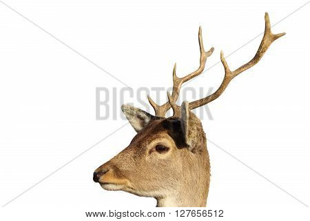 portrait of young fallow deer buck ( Dama dama male ) isolated over white background