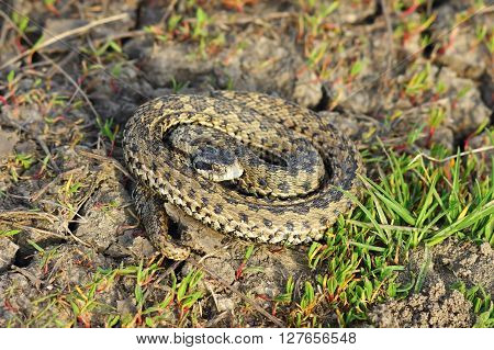 meadow adder in natural habitat ( Vipera ursinii rakosiensis female )