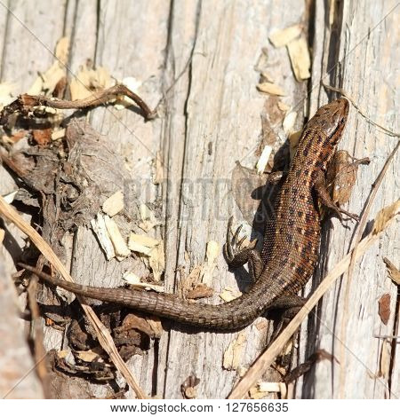 viviparous lizard basking on stump ( Zootoca vivipara )
