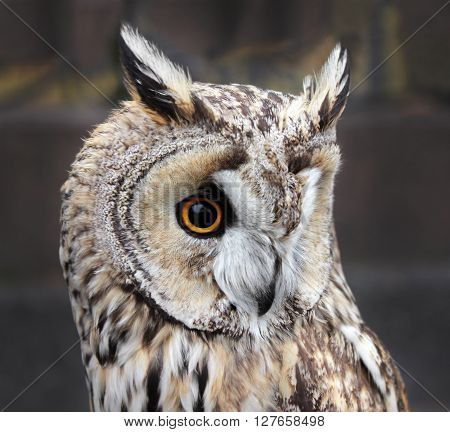 The Boreal Owl. In Europe it is typically known as Tengmalm's owl after Swedish naturalist Peter Gustaf Tengmalm or Richardson's owl after Sir John Richardson. Shallow depth selective focus.