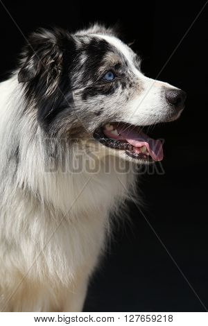 Amazing Australian Shepherd Isolated On Black Background
