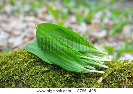 Ramsons leaves, wild garlic leaves in forest ** Note: Soft Focus at 100%, best at smaller sizes