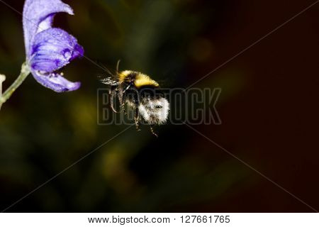 a bumble bee on it´s way to pollinate an aconite