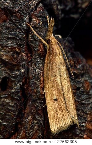 Catoptria falsella micro moth. Small insect in the family Crambidae known as the grass moths