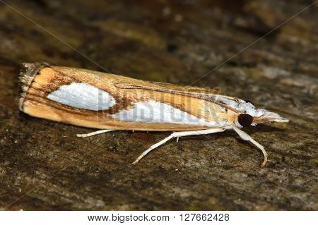 Catoptria pinella micro moth. Small insect in the family Crambidae known as the grass moths
