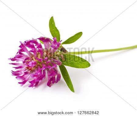 pink clover flower tea isolated on a white