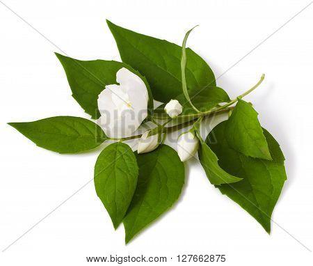 jasmine blossom isolated on a white background