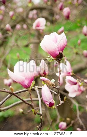 Magnolia blossoms in spring on a sunny day