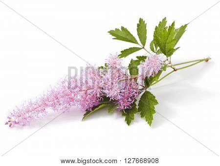 Pink Astilbe flower isolated on a white background