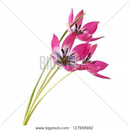 Red and White Tulip Isolated on White Background (Tulip Tarda)