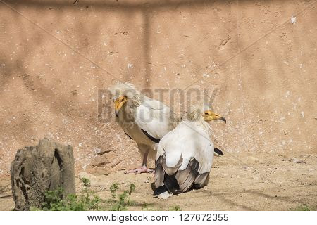 Neophron percnopterus Egyptian vulture, resting relaxed under the sun